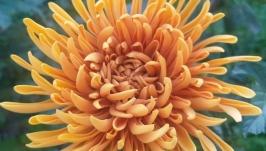 Стильная Брошь с хризантемой
