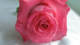 Роза «Каролина». Из холодного фарфора.