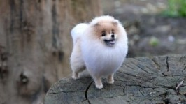 тут изображено Собака из шерсти мини шпиц Норис