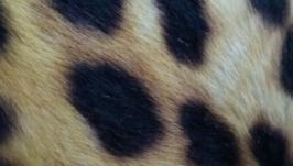 Лоскут пони натуральная кожа мрс
